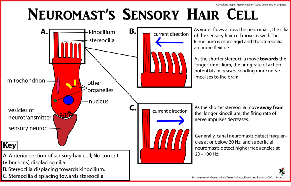 Sensory Hair of Cell of a Neuromast