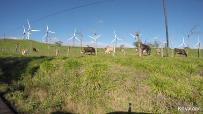 Wind turbines with cattle in foreground on the way to Laguna de Arenal.