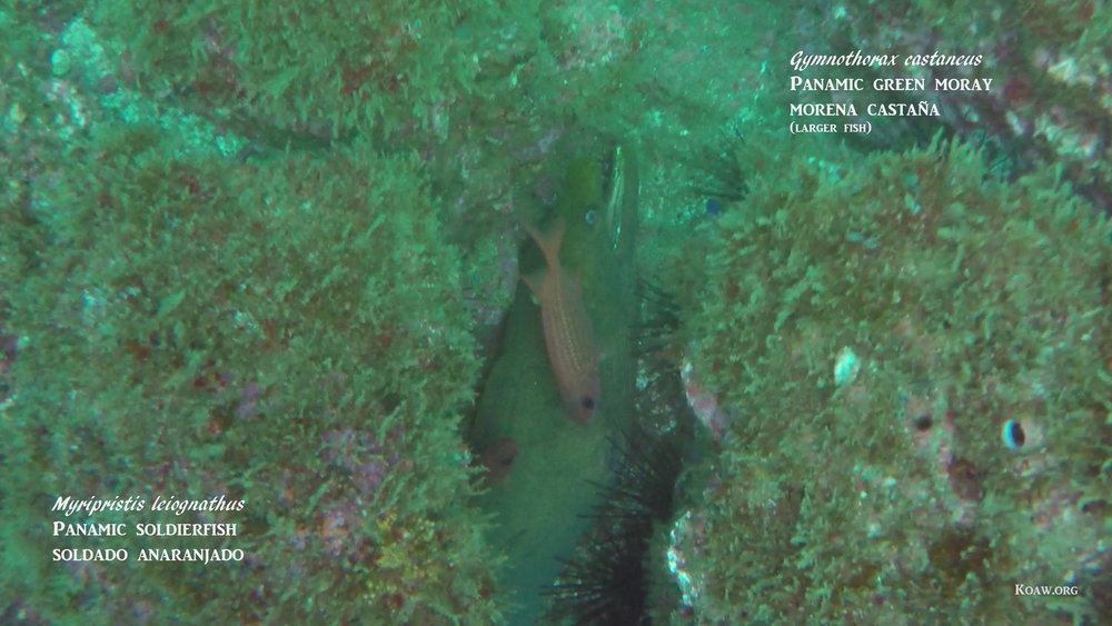 Moray eels appear to be aquatic snakes, but alas, they are fishes.