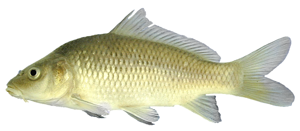 Common Carp - by Chad Thomas
