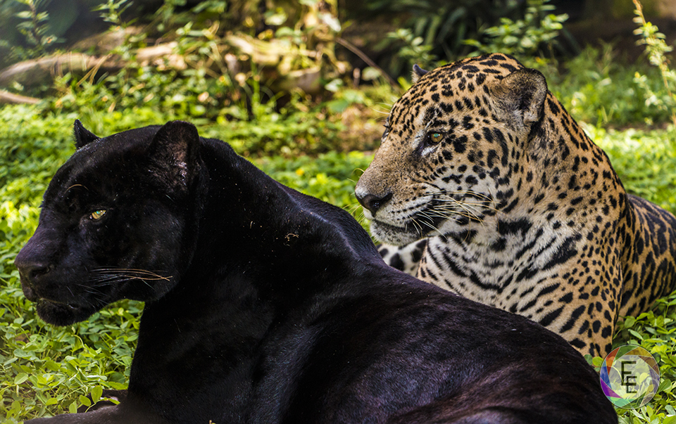 Melanism in Panthera onca by Eduardo Estrada Wildlife & Conservation Photography