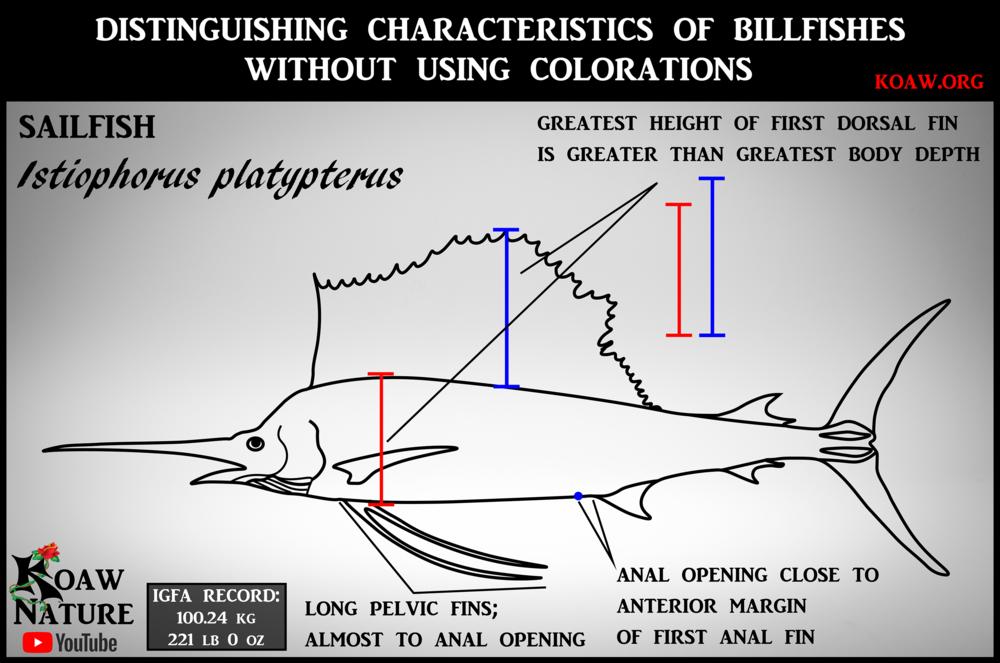 sailfish (Istiophorus platypterus) - Koaw.org
