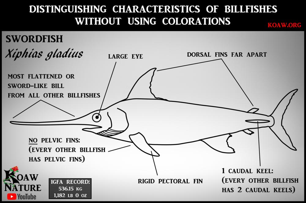 swordfish (Xiphias gladius) - Koaw.org