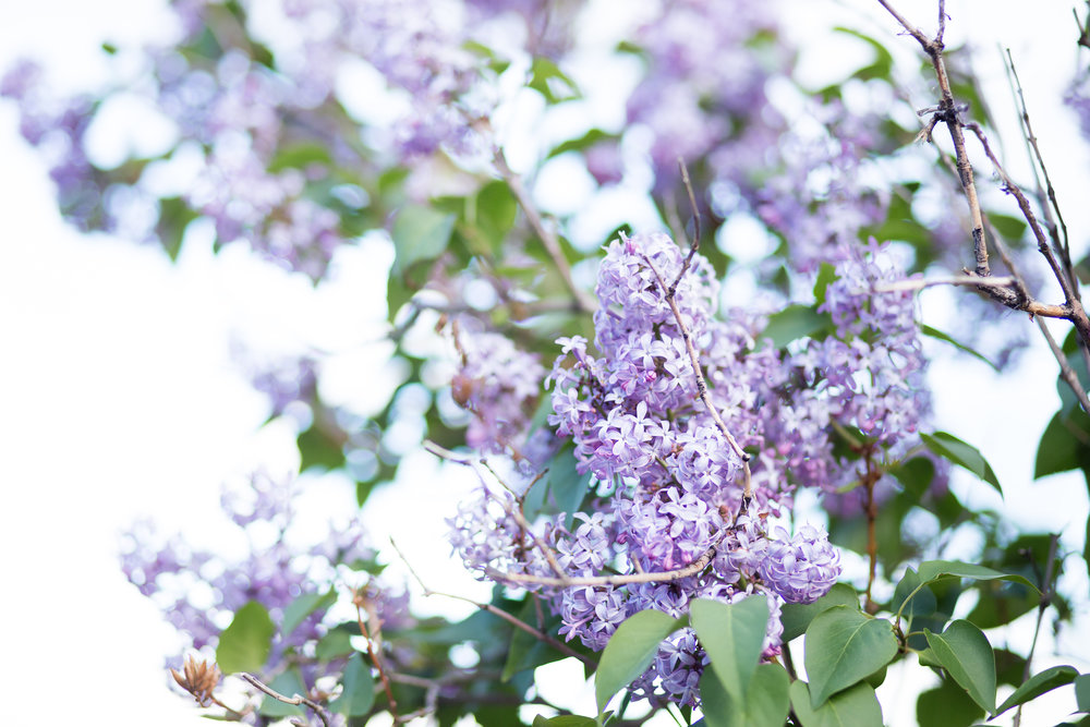Stacy Carosa Photography lilacs Colorado wedding senior photography