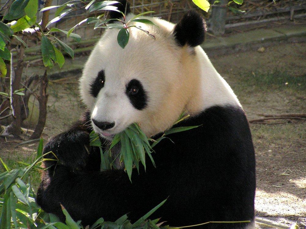 Panda-300x224.jpg