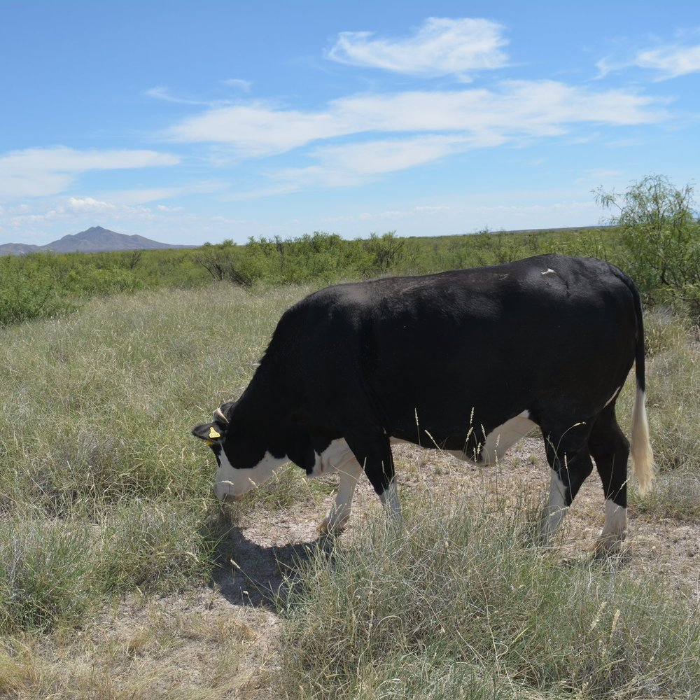 Grazing coarse grasses without supplement (Sept 2015)
