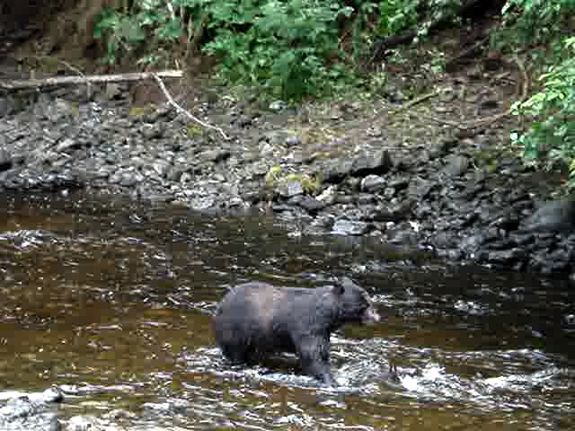 Checking on the Bears during the Kake Dog Salmon Festial - Photo by Dave Nevins