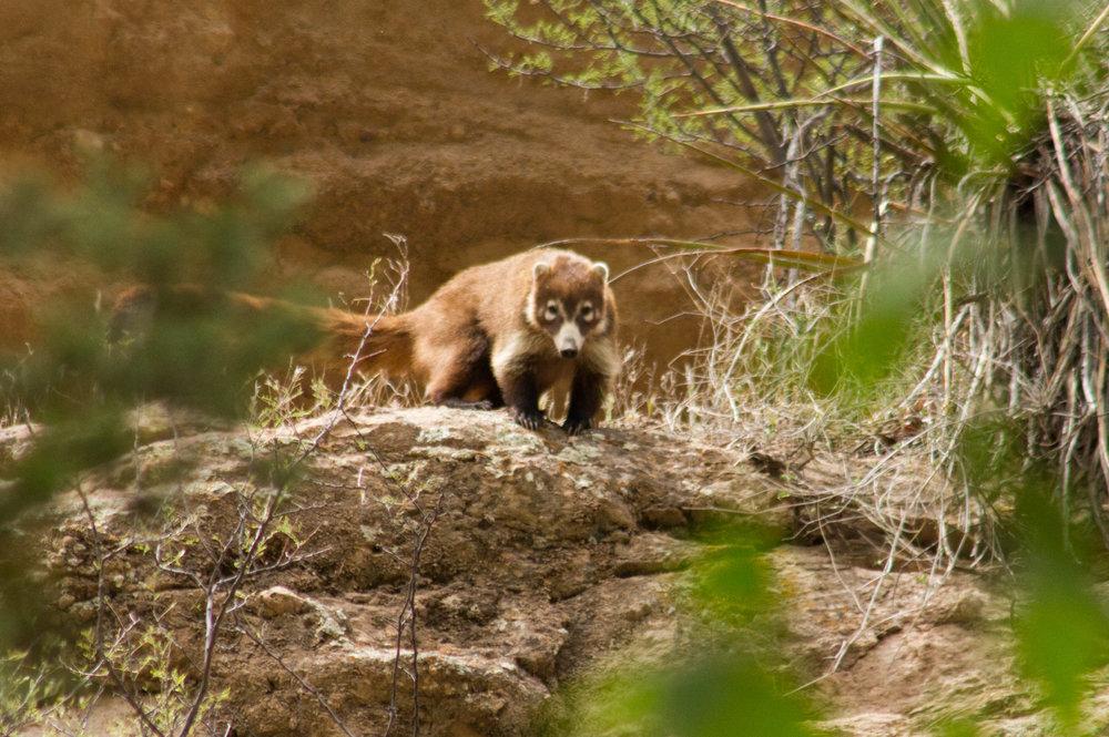 Coati - Turkey Creek Canyon - Arizona