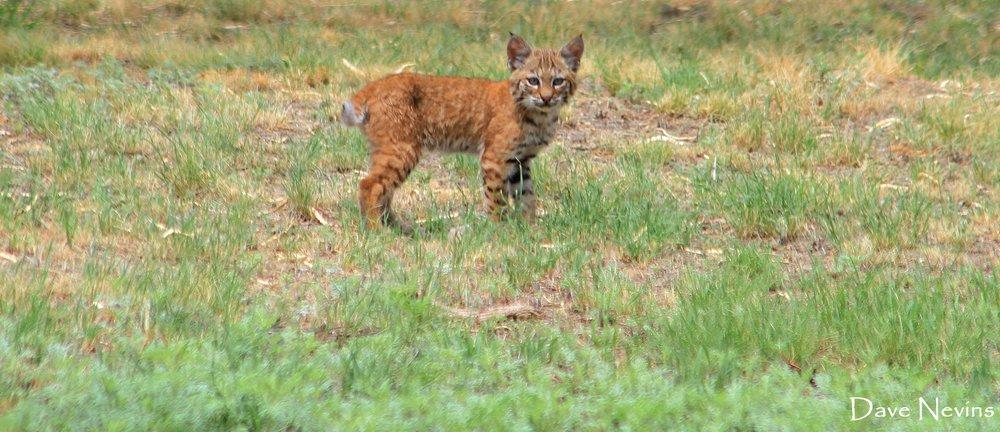 Bobcat - In the neighborhood - Catalina, Arizona