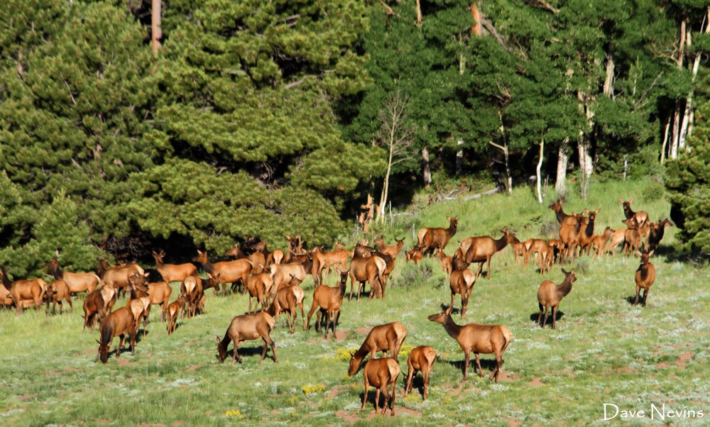 Elk (herd of 150+) - Near Fort Garland, Colorado
