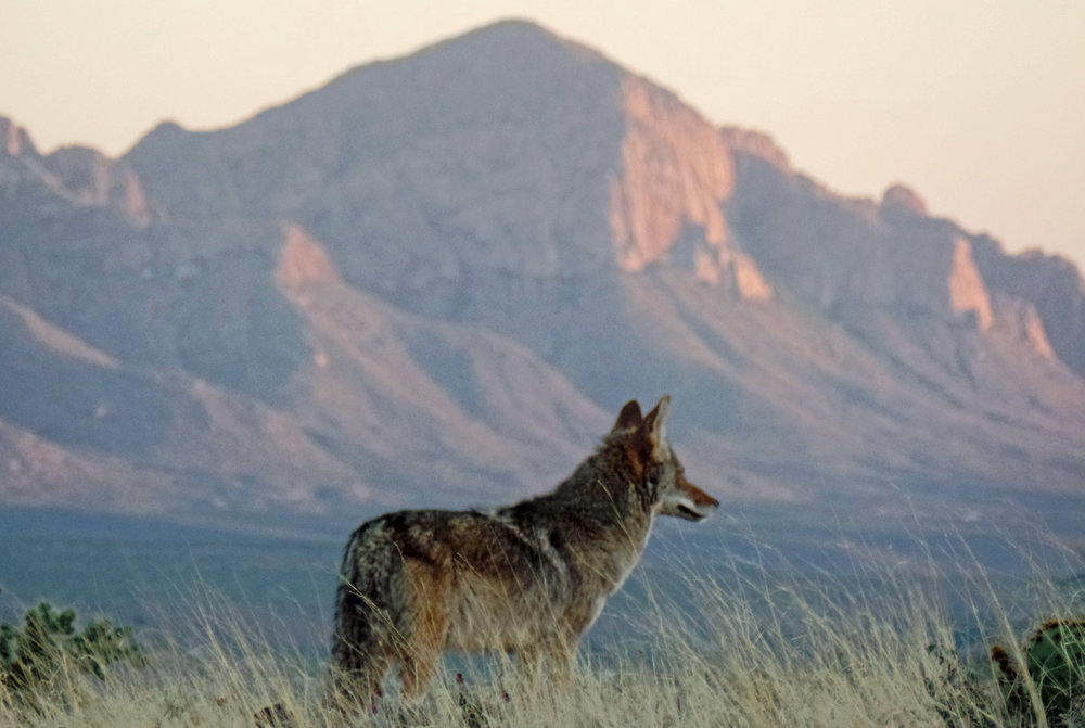 Coyote - Seen on my run - Catalina, Arizona