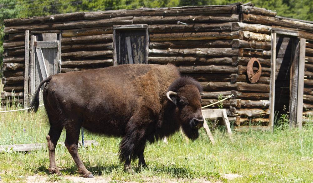 Bison - Colorado