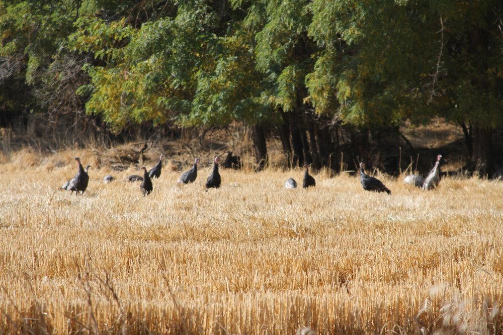 A lot of turkeys, making some noise, near Wasco, Oregon