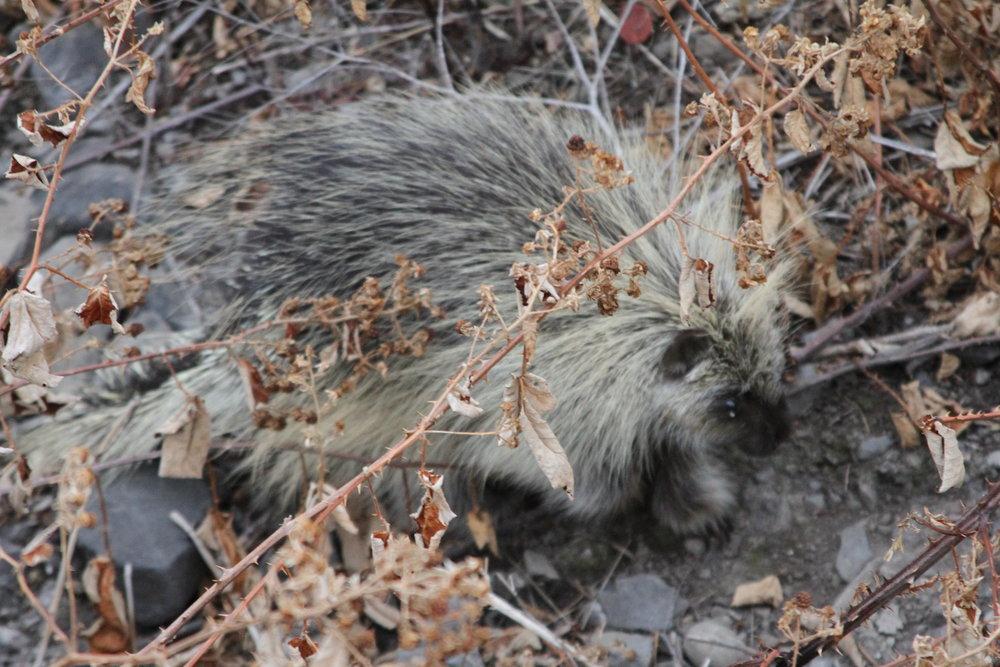 Porcupine near Dallesport, Washington