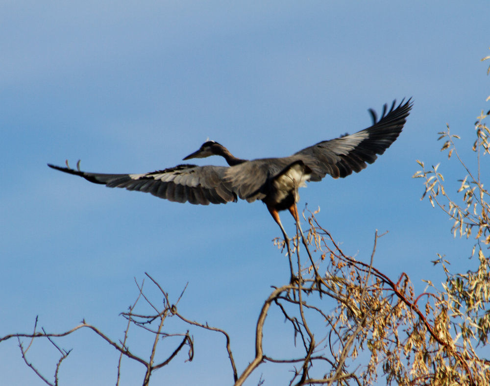 Great Blue Heron - Eastern Oregon (Photo #2)