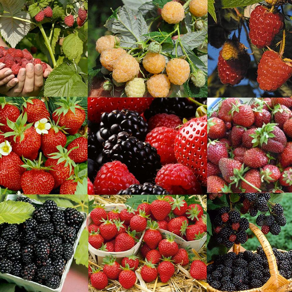 BerryGarden.jpg