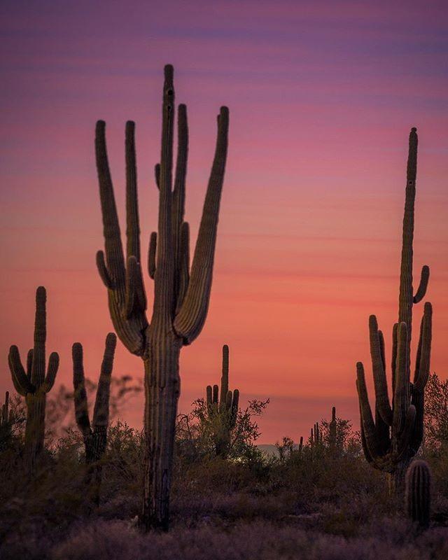 😍 Sunset & Saguaro Sunday 😍 #📷 @mattwilczekphotography . . . . #arizonahikersguide #keepnaturewild #letskeepitwild #arizona #visitarizona #arizonacollective #explorearizona #instagramaz #hikeaz #arizonahiking #igsouthwest #explorearizona #discoverarizona #optoutside_project #beon12 #artofvisuals #wildernessculture #igsouthwest #devine_deserts #weroamarizona #arizonahiking #arizonaphotographer #arizonalife #exploreaz #azculture #az365 #getoutside #rei1440project #divine_deserts