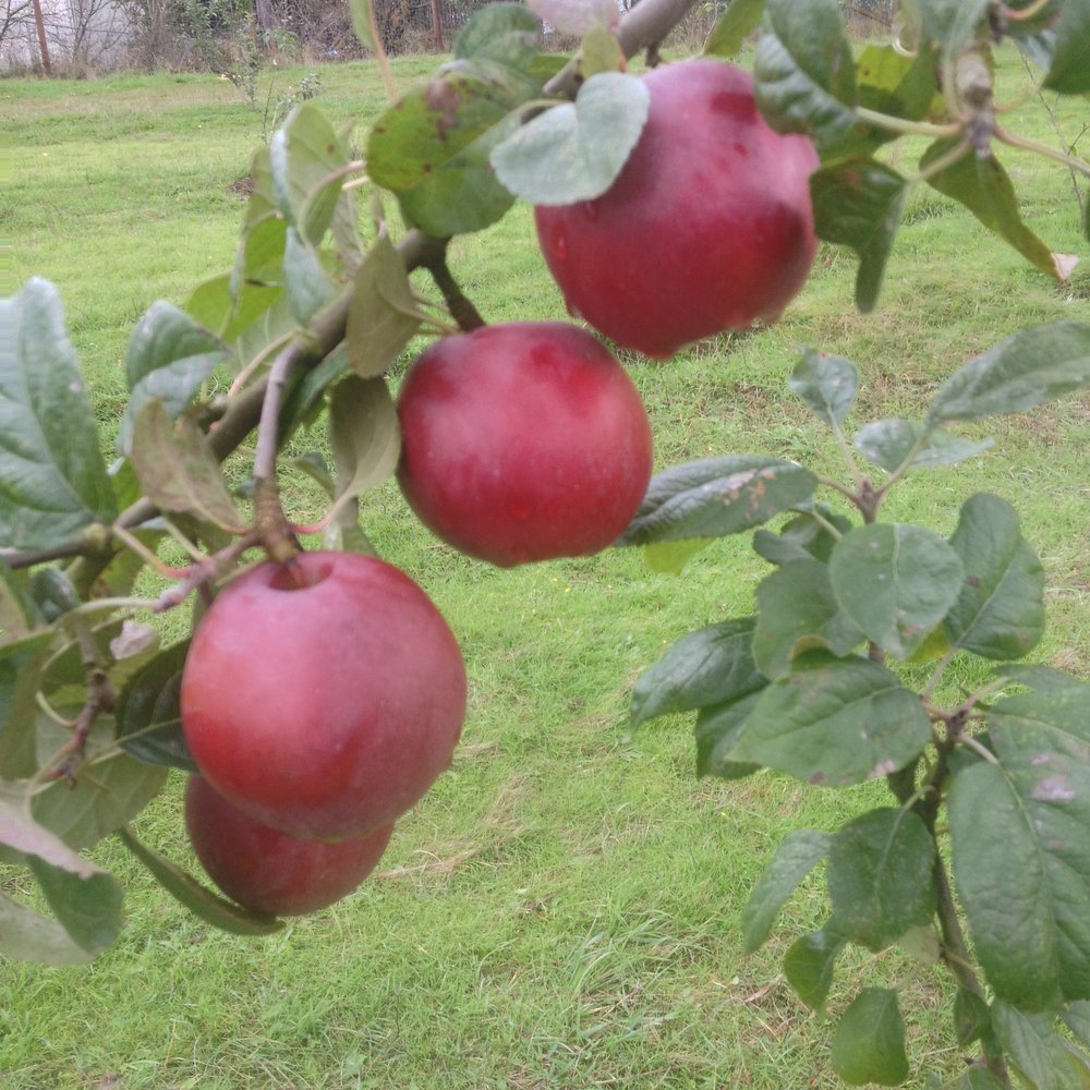 apples_cropped.jpg