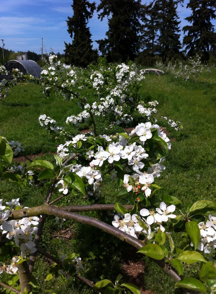 floweringappletree_2014.jpg