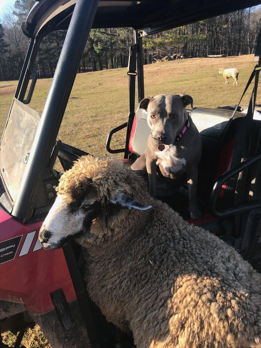 The breed is curious and gregarious. Pollyanna's fleece is getting in the way of her Polaris ride., plus the dog is on her seat!