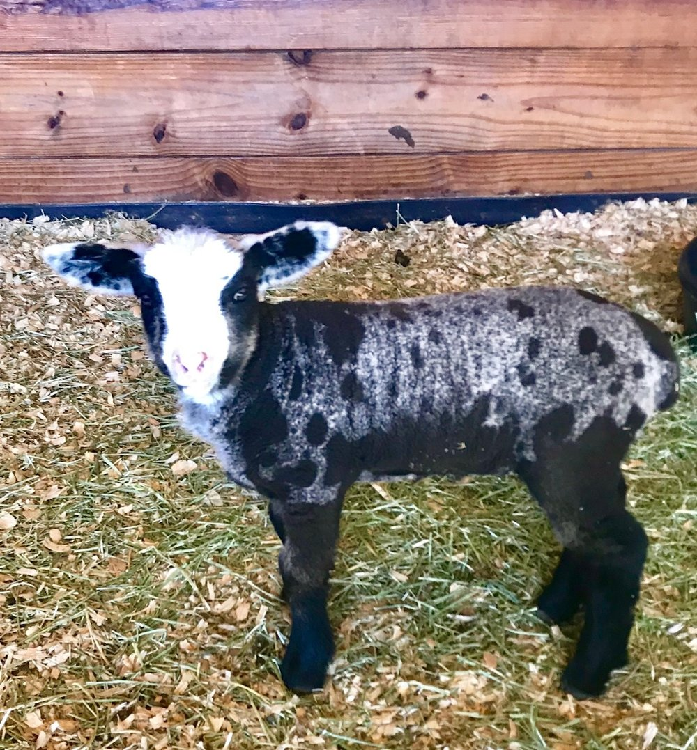 A two week old Romeldale ram lamb showing off his spots!