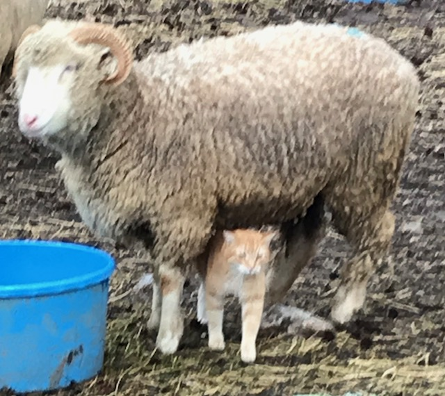 We love the gentle disposition of the breed, and so does our barn cat. He spends the cold winter days hanging out with Dorset ewe, and petting himself by rubbing his back on their nice soft, warm bellies..