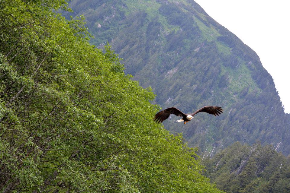A bald eagle, one of the many species you may see on your hike