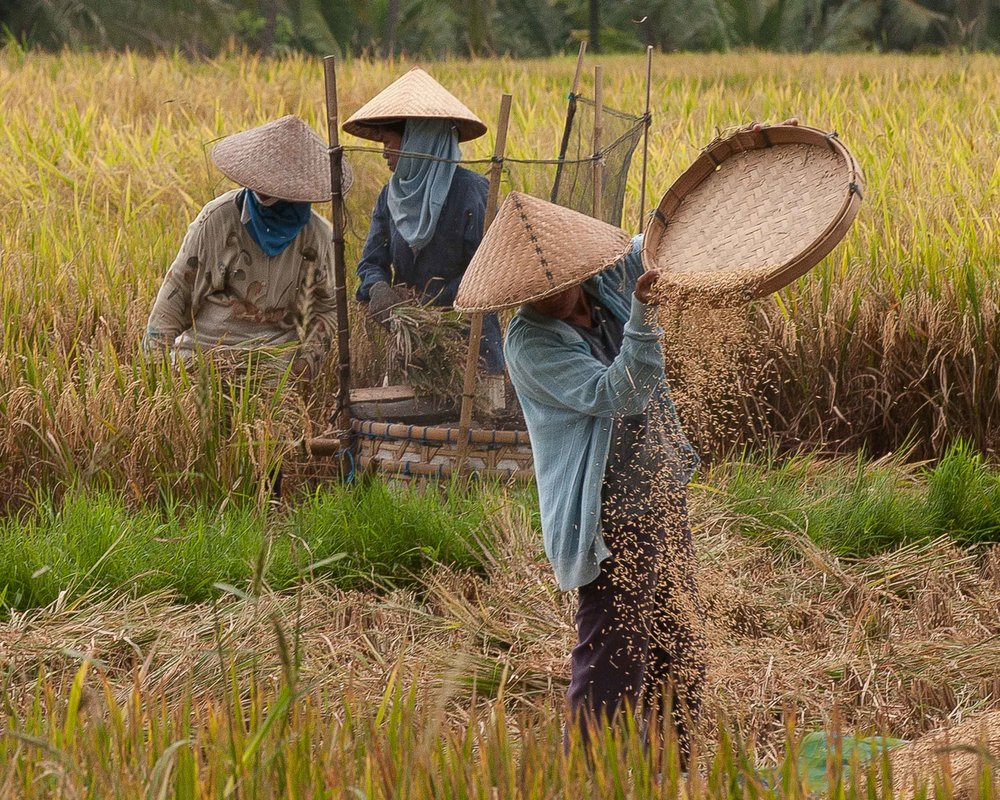 Rice harvest, Bali