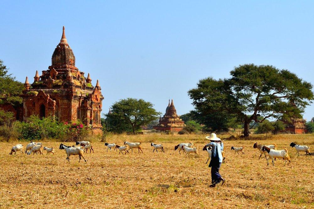 Goat herder, Bagan, Myanmar
