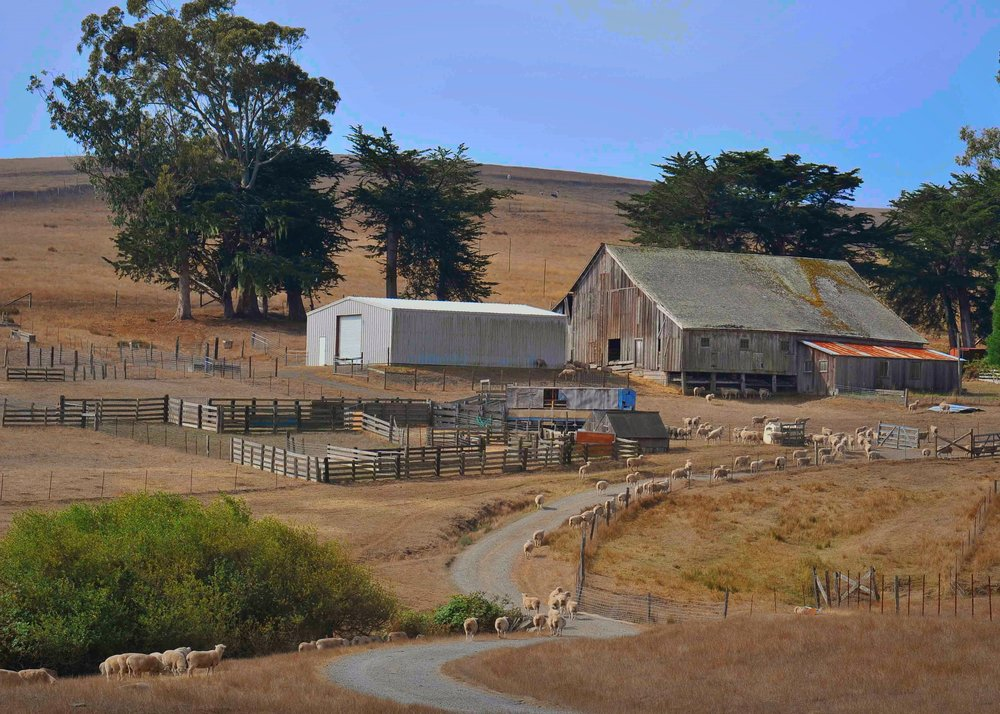 Sheep return to barn, outside of Tamales, California