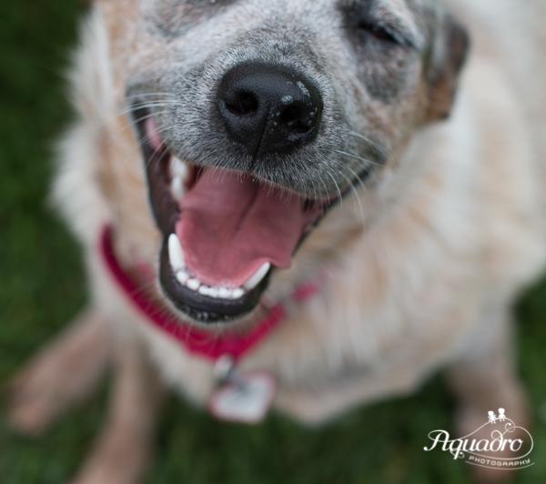 dakin_rescue_dog_australian_shepherd.jpg