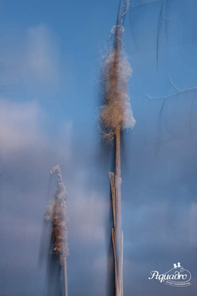 Cattails by the water at Fitzgerald Lake Conservation area.  Photo shot using Intentional Camera Movement (ICM) technique.