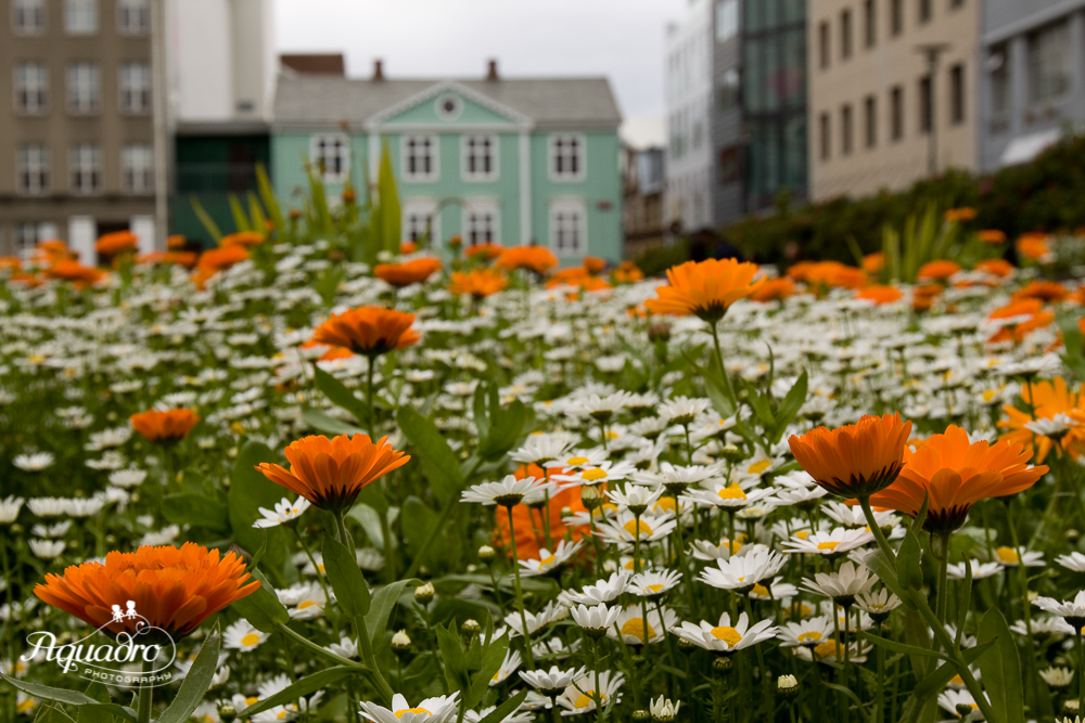 Orange Flowers in Iceland