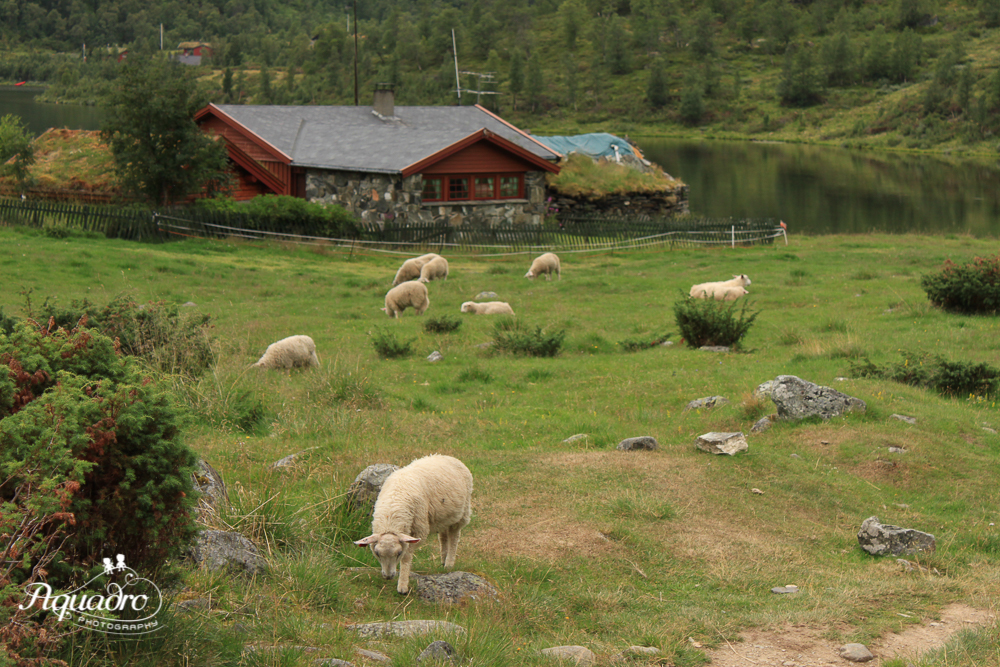 Norway Sheep Farm