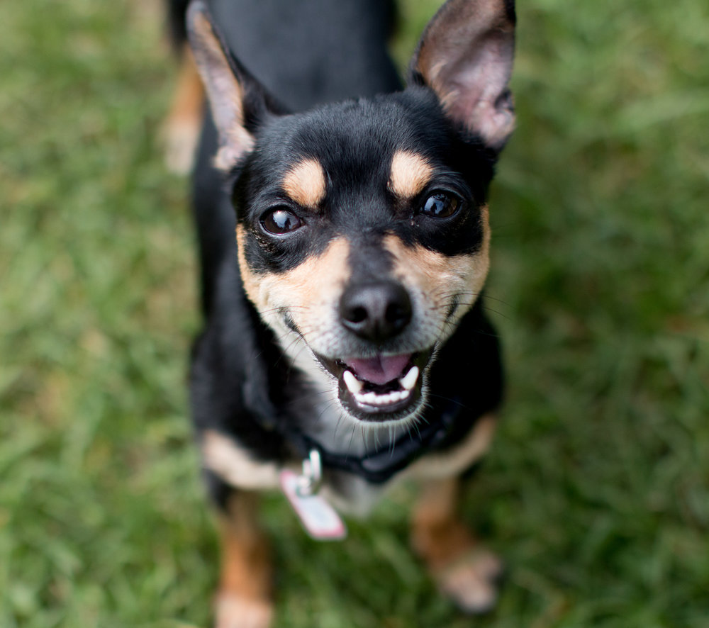 Chihuahua says hello!
