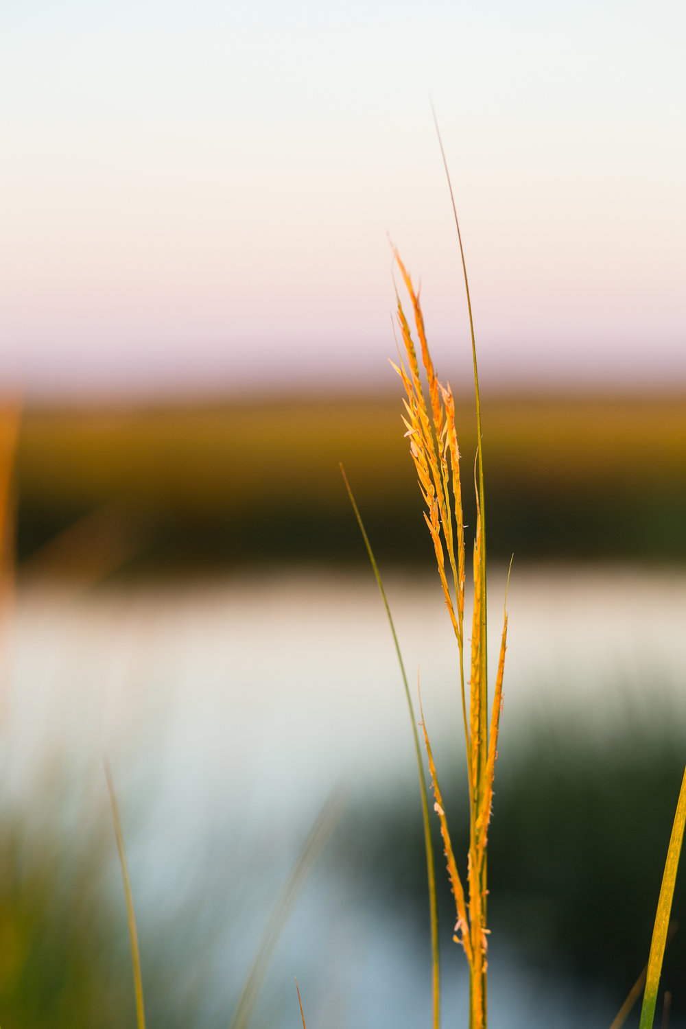 Sunrise Golden Reed