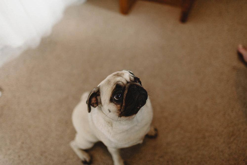 pug at wedding