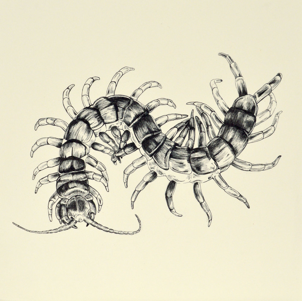 "Centipede 12x12"" Ink on Paper 2016"