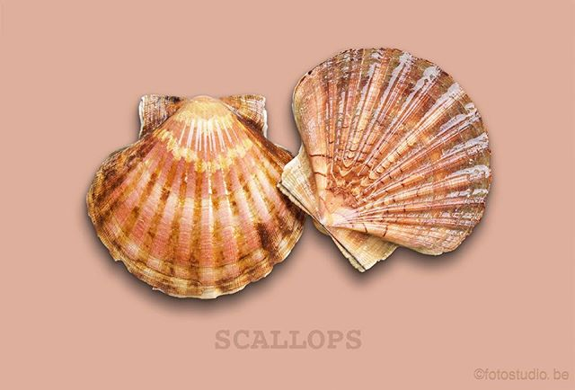 #scallops #sea #sealife #ocean #seafood #photography #fotostudio #hasselblad