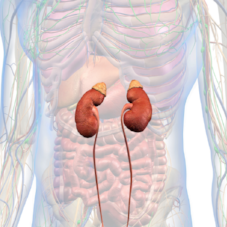 Adrenal Glands.png