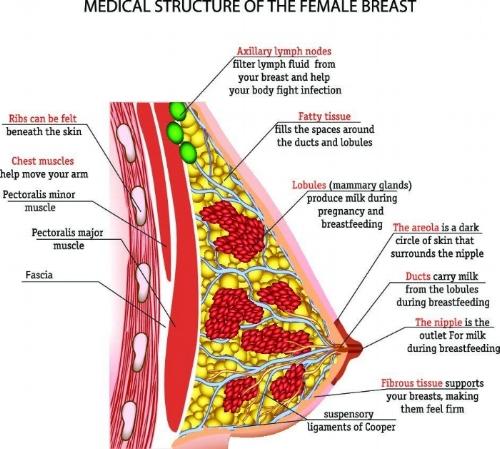 Breast_2_AdobeStock_95464327 JPEG.jpg