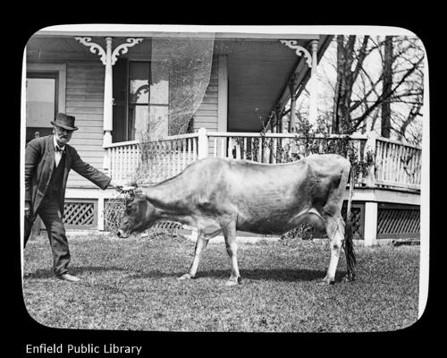 Mr. Sheldon's Cow