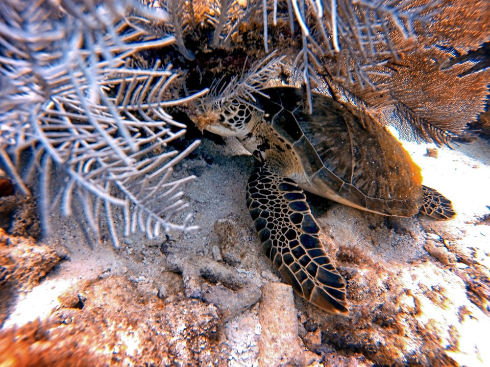 How cute... This little turtle was sleeping under a sea fan