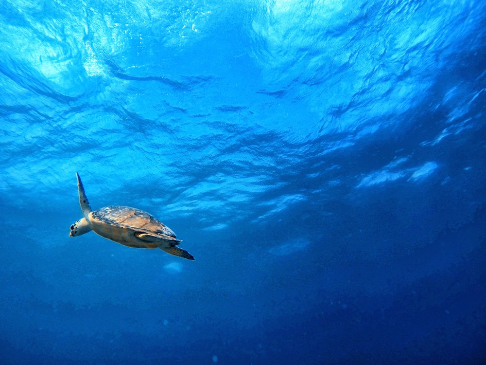Turtle Swimming Up for Air