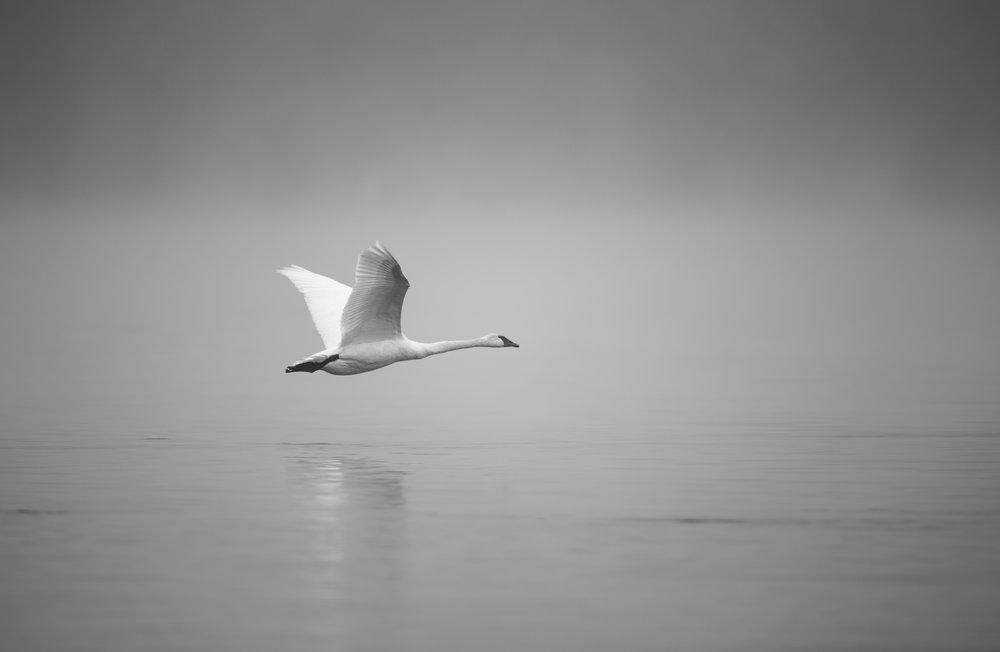 Swan (1 of 1).jpg