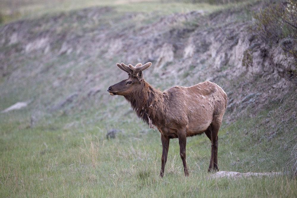 Elk-100ppijpg