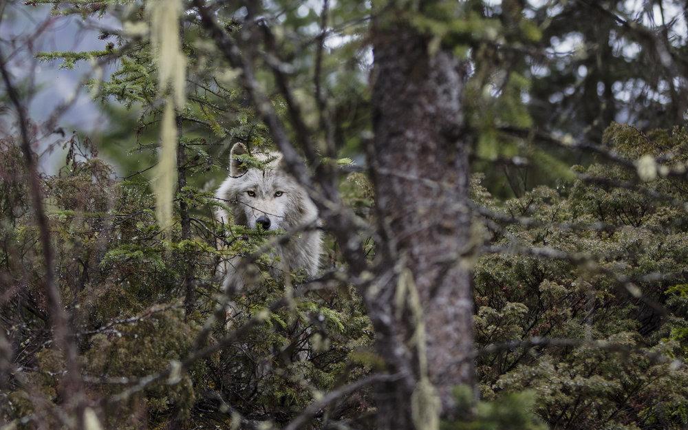 Wolf3-1.jpg