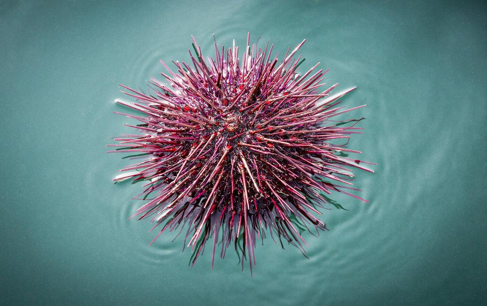 Urchin-1.jpg