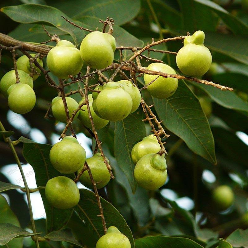 Seepje wasmiddel groeit zo aan de Sapindus boom. Het is gewoon fantastisch!