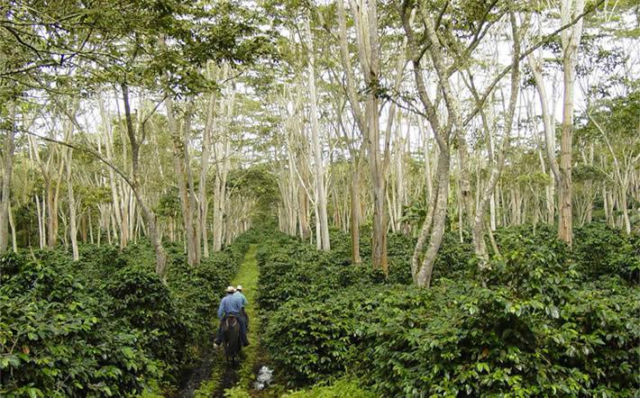 Een 'shade grown' koffieplantage
